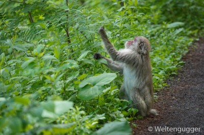 monkey Japanese alps